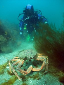 A lively Spider crab is a sure sign of Spring