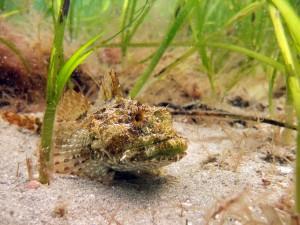 Scorpion Fish; what a cutie!
