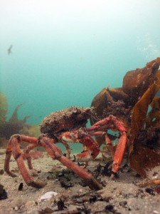 Spider crab makes his presence known