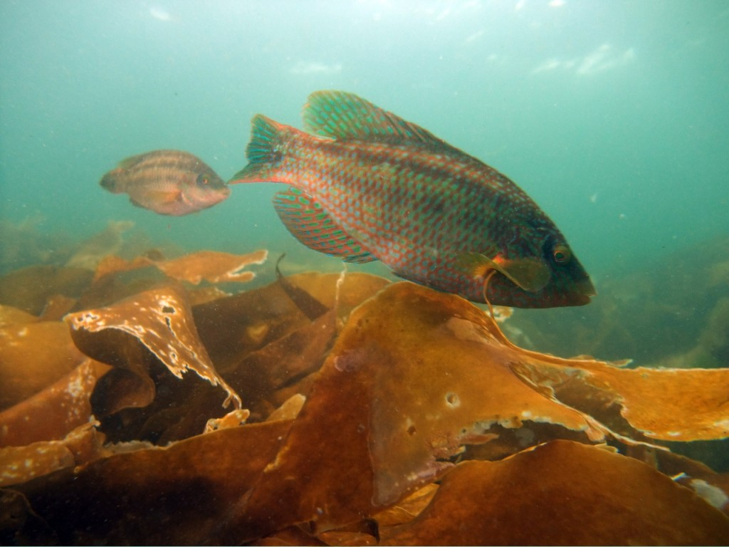 Corkwing Wrasse in Our Cove: Friday 6th Aug