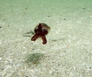 Little cuttlefish scoots along