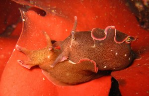 Seahare on kelp
