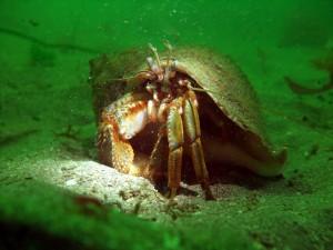 Hermit Crab, photo by Viviane K