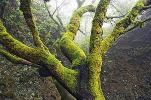 Garoe Tree