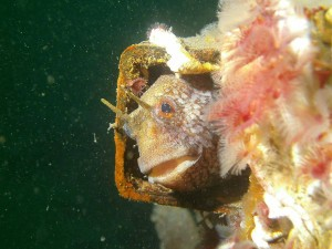 Blenny by Eoghan Leahy