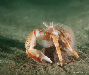 Hermit Crab, by Ronan Fahy